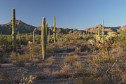 Sonoran Desert Scene With Saguaro Print by George Grall