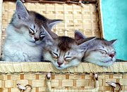 Exhausted Paintings - Sorrel Silver Somali Kittens In A Basket Sleeping by Clayton Singleton