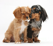 House Pet Prints - Spaniel & Dachshund Puppies Print by Mark Taylor