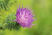 Bract Framed Prints - Spear Thistle Flower Framed Print by Georgette Douwma