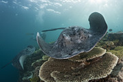 Featured Art - Speckled Stingray Swimming Over Coral by Reinhard Dirscherl