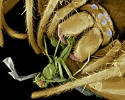 Eating Entomology Photo Posters - Spider Eating A Fly, Sem Poster by Volker Steger
