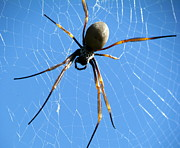 Spider Print by Joyce Woodhouse