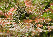 Stephen Eis - Spider Under Dew