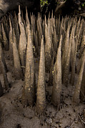 Kosrae Island Prints - Spiked Breathing Roots Pneumatophores Print by Tim Laman