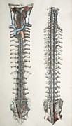 Posterior. Framed Prints - Spinal Cord Anatomy, 1844 Artwork Framed Print by