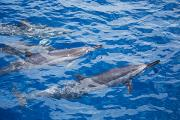 Slash Photos - Spinner Dolphins by Dave Fleetham