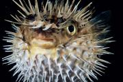 Spiny Puffer Print by Dave Fleetham - Printscapes