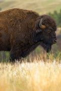 Bison Photo Metal Prints - Spirit of the Wild Metal Print by Jeffrey Campbell