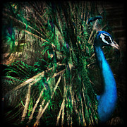 Peacock Photo Metal Prints - Splendour Metal Print by Andrew Paranavitana