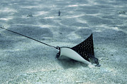 Red Eagle Posters - Spotted Eagle Ray Poster by Georgette Douwma