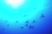 Eagle Ray Posters - Spotted Eagle rays Poster by Sami Sarkis