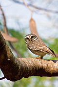 Owlet Prints - Spotted Owlet Print by Amith Nag Photography