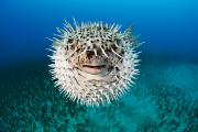Porcupine Fish Art - Spotted Porcupinefish by Dave Fleetham