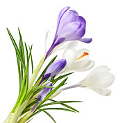 Growing Posters - Spring crocus flowers Poster by Elena Elisseeva