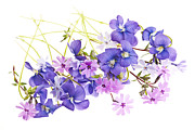 Violet Photo Prints - Spring flowers Print by Elena Elisseeva