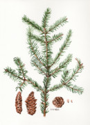 Nature Study Painting Originals - Spruce Twig by Betsy Gray Bell
