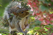Cute Pyrography Prints - Squirrel In Fall Print by Valia Bradshaw