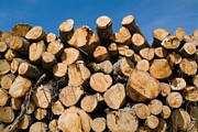 Stack Of Wooden Logs In The Landes Forest Print by Sami Sarkis