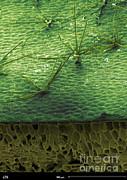Staghorn Fern, Sem Print by Ted Kinsman