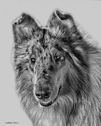 Collie Digital Art Metal Prints - Standard Collie Metal Print by Larry Linton