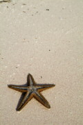 Blending In Prints - Starfish partially buried in white sand Print by Sami Sarkis