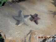 Stone Sculptures - Starfish by Robert Davis