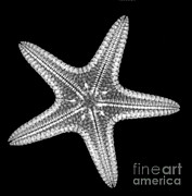 Starfish Print by Ted Kinsman