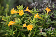 Sticky Framed Prints - Sticky Monkey Flower Framed Print by Ted Kinsman