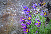 Pasque Flower Art - Still Life With Pasque by Paul Causie