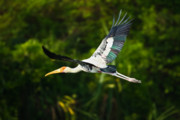 Painted Feathers Posters - Stork in Flight Poster by Nila Newsom
