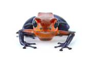 Featured Acrylic Prints - Strawberry Poison Dart Frog La Selva Acrylic Print by Piotr Naskrecki