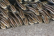 Featured Art - Striped Catfish Amed Bali Indonesia by Reinhard Dirscherl