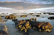 Shark Bay Prints - Stromatolites In Australia Print by Bob Gibbons