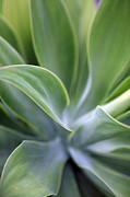 Succulent Prints - Succulent Curves Print by Mike Reid