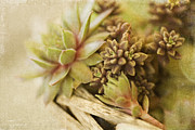 Succulents Prints - Succulents Print by Bonnie Bruno