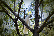 Top-end Prints - Sulphur Crested Cockatoo Print by Douglas Barnard