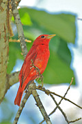 Tanager Originals - Summer Tanager by Alan Lenk