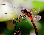 Dragonfly Macro Photos - Sun Bathing Dragon by David Hahn