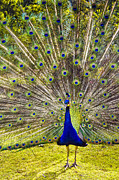 Peafowl Photos - Sun King by David Lade