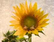 Flora Art Prints - Sunflower - Sun Kiss Print by John  Hamlon