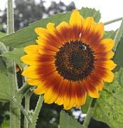 Sunflower Print by Allison Walker