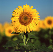 Yellow Flowers Posters - Sunflower Poster by Bernard Jaubert