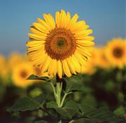 Sunflower Print by Bernard Jaubert