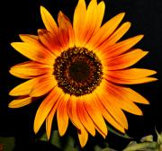 Blooms - Sunflower by Cathie Tyler