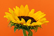 Orange Flower Acrylic Prints - Sunflower closeup Acrylic Print by Elena Elisseeva