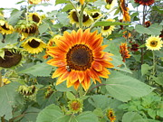 Yellow And Orange Sunflower Prints - Sunflower Garden Print by Diannah Lynch