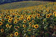 Chianti Framed Prints - Sunflowers Framed Print by Franco Franceschi