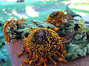 Jon Baldwin Art Art - Sunflowers  by Jon Baldwin  Art