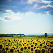 Field. Cloud Posters - Sunflowers Poster by Kirstin Mckee